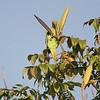 ROSE-RINGED PARAKEET <i>Psittacula krameri (manillensis?)</i> Alabang, Muntinlupa, Philippines