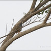 CHINESE FRANCOLIN <i>Francolinus pintadeanus</i> Nuvali, Laguna, Philippines