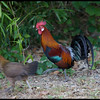 RED JUNGLEFOWL <i>Gallus gallus</i> Subic, Philippines