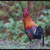 RED JUNGLEFOWL <i>Gallus gallus</i> Subic, Zambales, Philippines