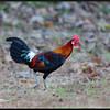 RED JUNGLEFOWL <i>Gallus gallus</i> Subic, Philippines