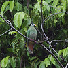 BLACK CHINNED FRUIT DOVE, female <i>Ptilinopus leclancheri</i> Sabang, Palawan