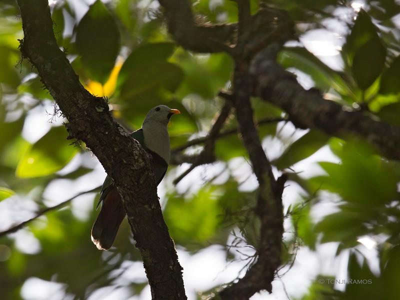 BLACK CHINNED FRUIT DOVE <i>Ptilinopus leclancheri</i> Sabang, Palawan