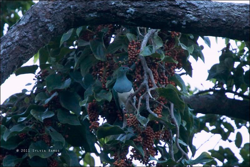 CREAM-BELLIED FRUIT DOVE <i>Ptilinopus merrilli faustinoi</i> Northern Sierra Madre, Luzon, Philippines