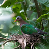 COMMON EMERALD DOVE <i>Chalcophaps indica</i> Quezon City, Metro Manila