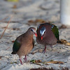COMMON EMERALD DOVE <i>Chalcophaps indica</i> Pandan Island, Occidental Mindoro  The dove at the back  flew down, hunched up his shoulders, and started following the dove in front.