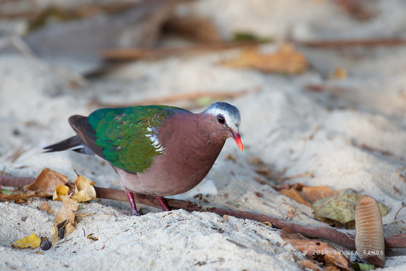 COMMON EMERALD DOVE <i>Chalcophaps indica</i> Pandan Island, Occidental Mindoro