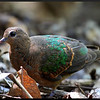COMMON EMERALD DOVE, immature <i>Chalcophaps indica</i> Pandan Island, Mindoro, Philippines