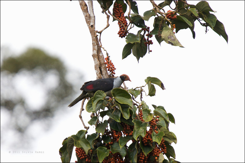 FLAME-BREASTED FRUIT DOVE <i>Ptilinopus marchei</i> Northern Sierra Madre, Luzon, Philippines