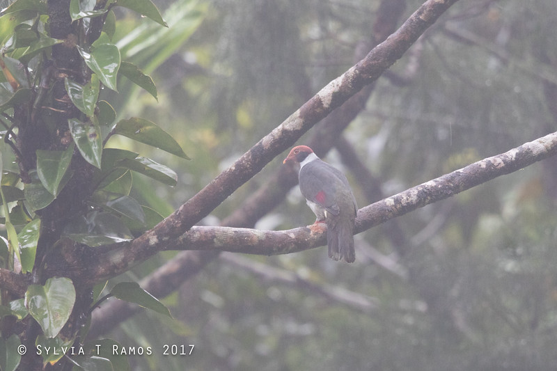 FLAME-BREASTED FRUIT DOVE