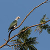 GREEN IMPERIAL PIGEON
