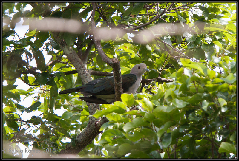 GREEN IMPERIAL PIGEON <i>Ducula aenea</i> Subic, Zambales, Philippines