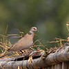ISLAND COLLARED DOVE <i>Streptopelia bitorquata</i> Candaba, Pampanga, Philippines