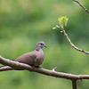 ISLAND COLLARED DOVE <i>Streptopelia bitorquata</i> Caylabne, Cavite, Philippines