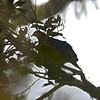 Metallic Pigeon <i>Columbia vitensis</i> Mt. Apo, Mindanao