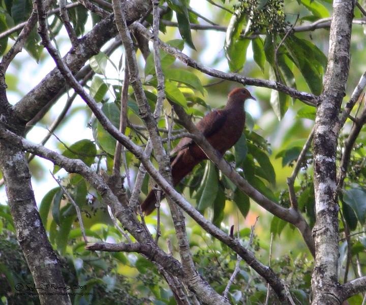 PHILIPPINE CUCKOO DOVE <i>Macropygia tenuirostris</i> Sabang, Palawan
