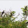 PHILIPPINE CUCKOO DOVE <i>Macropygia tenuirostris septentrionalis</i> Batan, Batanes