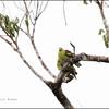 PHILIPPINE GREEN PIGEON  <i>Treron axillaris</i> PICOP, Bislig, Surigao del Sur