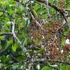 PPHILIPPINE GREEN PIGEON  <i>Treron axillaris</i> Sablayan Penal Colony, Mindoro