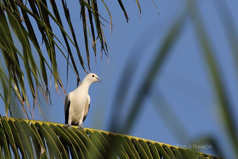 PIED IMPERIAL PIGEON <i>Ducula bicolor</i> Pandan Island, Palawan