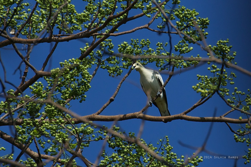 PIED IMPERIAL PIGEON <i>Ducula bicolor</i> Pandan Island, Occidental Mindoro  This is another island that's also called Pandan. And that also has Pied Imperial!