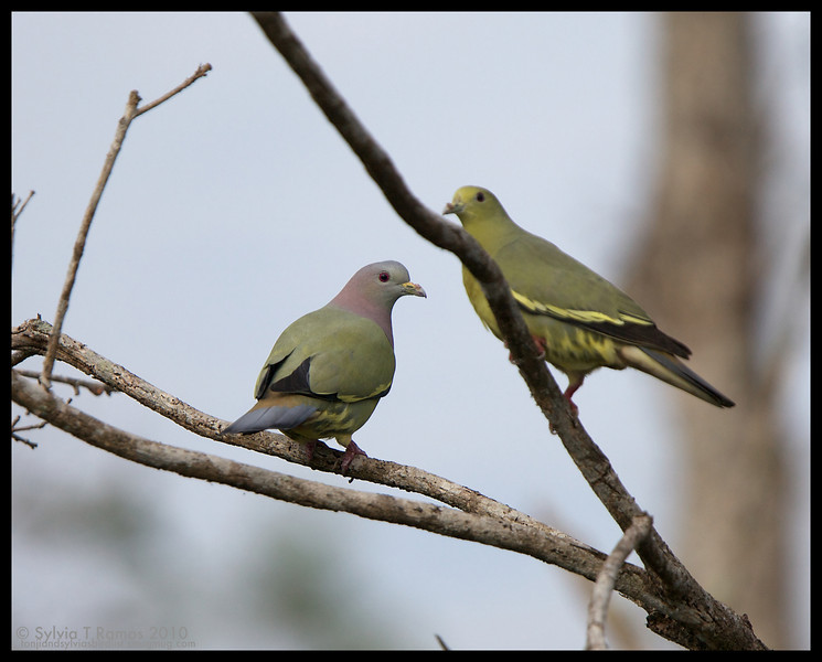 PINK-NECKED GREEN PIGEON <i>Treron vernans</i> La Mesa Dam, Quezon City, Philippines  male and female