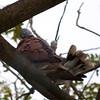 RED TURTLE DOVE <i>Streptopelia tranquebarica</i> Alabang, Muntinlupa, Philippines