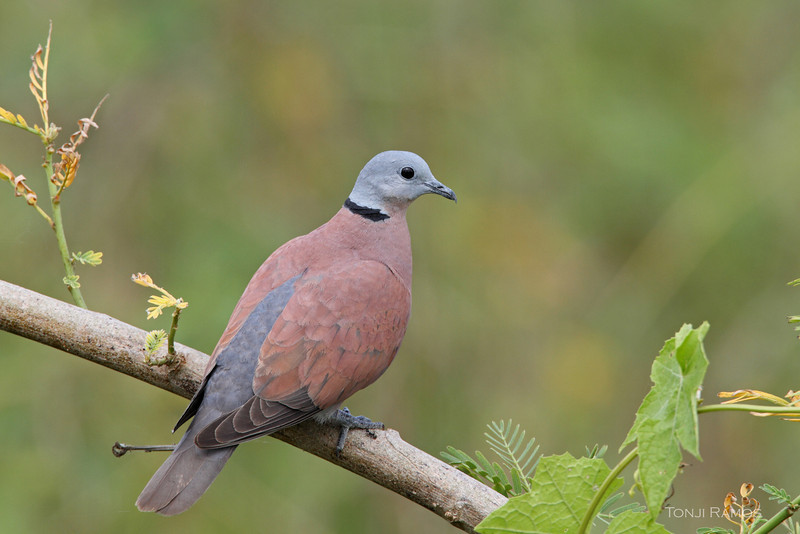 RED TURTLE DOVE <i>Streptopelia tranquebarica</i> Candaba, Pampanga, Philippines
