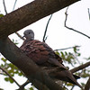 RED TURTLE DOVE <i>Streptopelia tranquebarica</i> Alabang, Muntinlupa, Philippines  Waking Up!