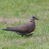 RED TURTLE DOVE, female <i>Streptopelia tranquebarica</i> Sta. Elena Golf Club, Philippines
