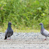 ROCK DOVE <i>Columba livia</i> Coastal Lagoon, Parañaque, Philippines  note the leg bands