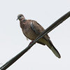 SPOTTED DOVE <i>Streptopelia chinensis</i> Coastal Lagoon, Parañaque, Philippines