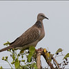 SPOTTED DOVE <i>Streptopelia chinensis</i> Candaba, Pampanga, Philippines