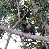 SPOTTED IMPERIAL PIGEON <i>Ducula carola</i> Pasuquin, Ilocos Norte