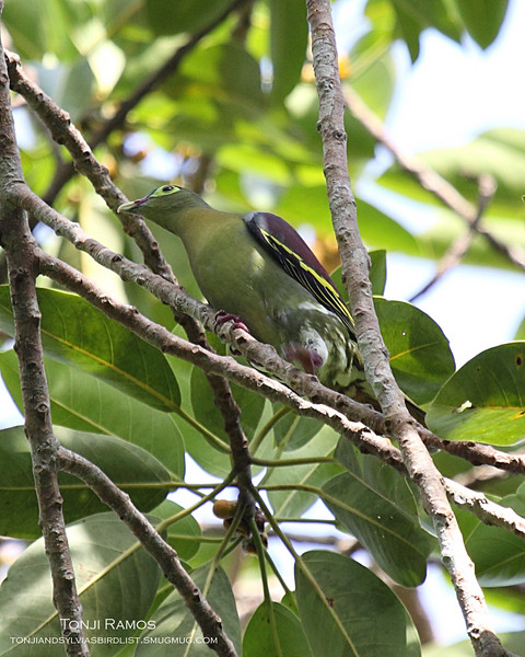 THICK-BILLED GREEN PIGEON,  male <i> Treron curvirostra</i> Sabang, Palawan