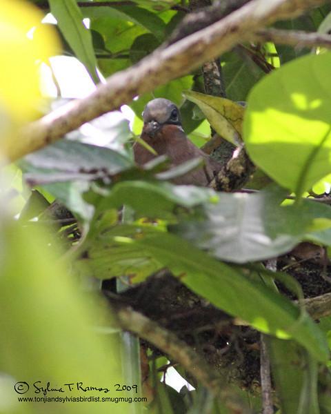 WHITE EARED BROWN DOVE <i>Phapitreron leucotis</i> Sierra Madre, Nueva Ecija
