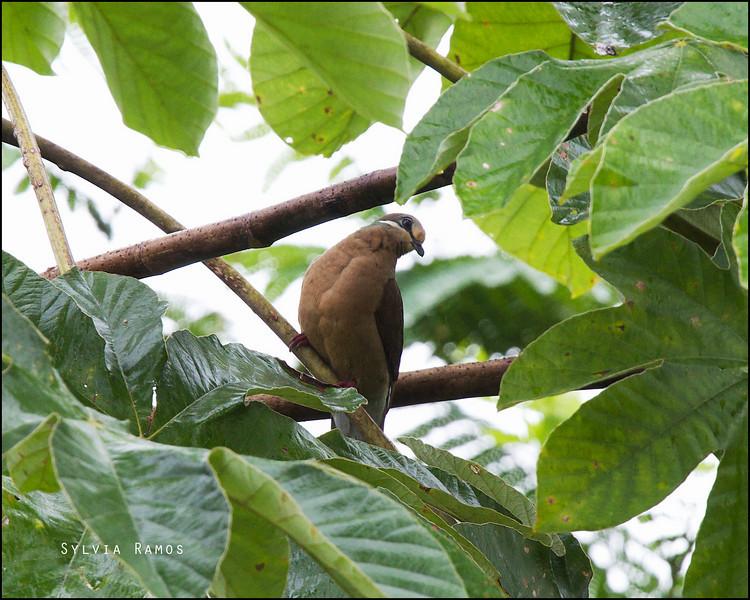 WHITE EARED BROWN DOVE <i>Phapitreron leucotis</i> PICOP, Bislig, Surigao del Sur