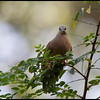 WHITE EARED BROWN DOVE <i>Phapitreron leucotis</i> Philippine Eagle Center, Davao