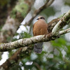 WHITE EARED BROWN DOVE <i>Phapitreron leucotis</i> Mt. Kitanglad, Bukidnon
