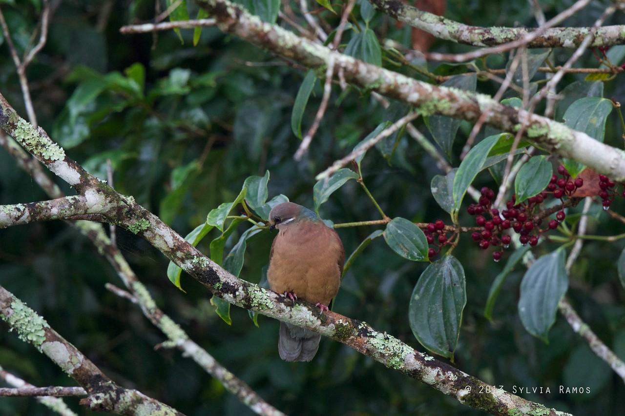WHITE EARED BROWN DOVE <i>Phapitreron leucotis</i> Mt. Kitanglad, Bukidnon