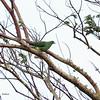 WHISTLING GREEN PIGEON <i>Treron formosae</i> Mt. Irayat, Basco, Batanes
