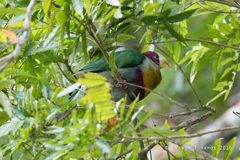 YELLOW BREASTED FRUIT DOVE