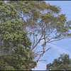 YELLOW BREASTED FRUIT DOVE <i>Ptilinopus occipitalis</i> Mt. Kitanglad, Bukidnon, Philippines  The bird was THIS far away.
