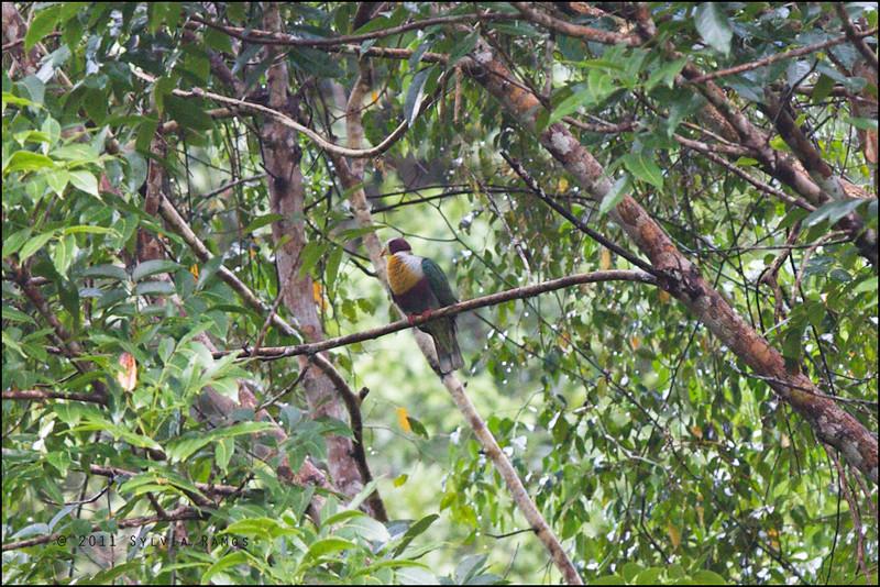 YELLOW BREASTED FRUIT DOVE <i>Ptilinopus occipitalis</i> Rajah Sikatuna Park, Bilar, Bohol