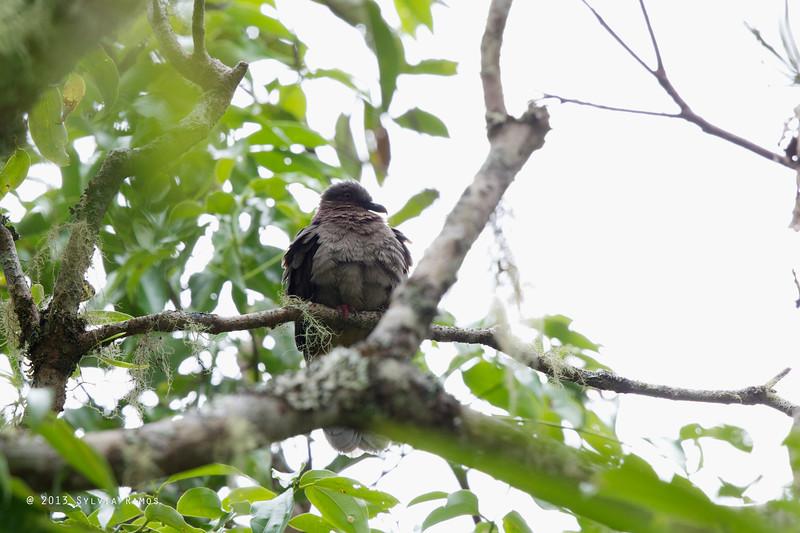 AMETHYST BROWN DOVE <i>Phapitreron amethystinus</i> Mt. Kitanglad, Bukidnon, Mindanao
