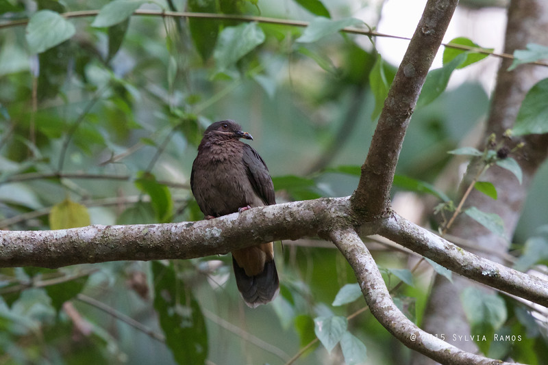 AMETHYST BROWN DOVE