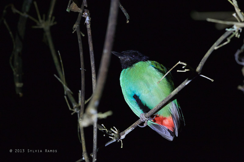 HOODED PITTA <i>Pitta sordida</i> Sabang, Palawan, Philippines  Hooded Pitta photographed at night while we were looking for owls.