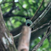 HOODED PITTA <i>Pitta sordida</i> Coron, Palawan, Philippines
