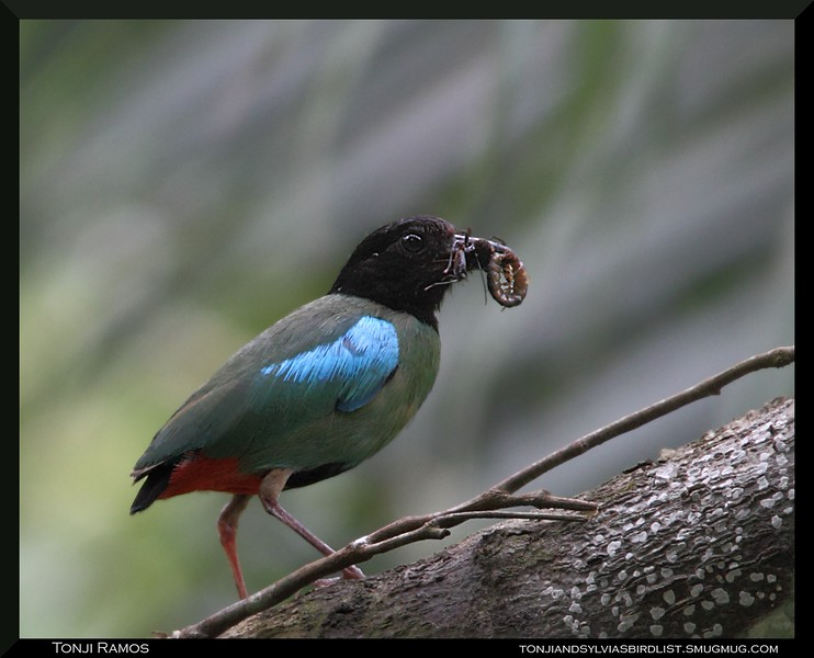 HOODED PITTA <i>Pitta sordida</i> Coron, Palawan, Philippines
