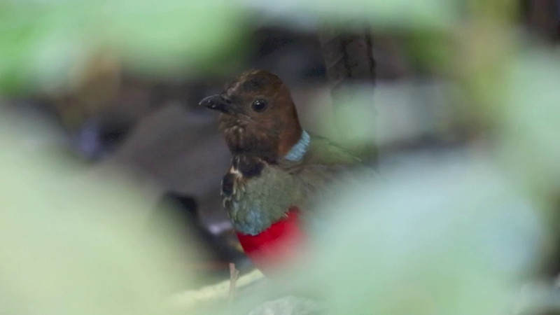 RED-BELLIED PITTA <i>Pitta erythrogaster</i> La mesa, Quezon City, Philippines
